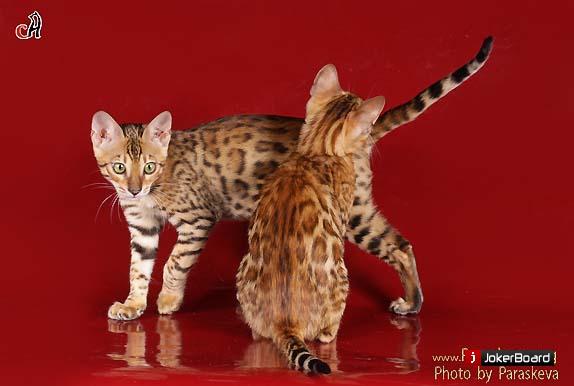 Как вязать бенгальскую кошку