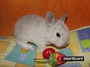 Карликовый Кролик Рекс, купить его можно здесь., Москва