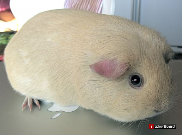 для ремонта породистые морские свинки купить подобрать циркуляционный насос