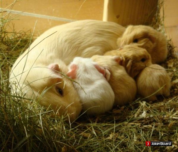 Морские свинки уход и содержание в домашних условиях - Регионмонтажэнерго
