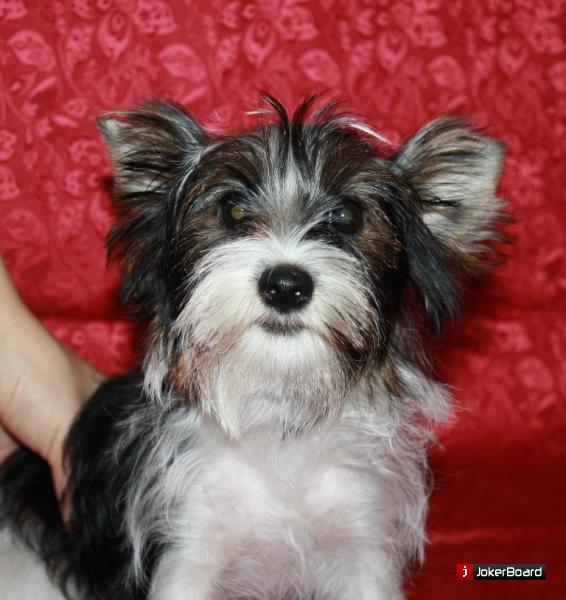 Йоркширский терьер фото собаки цена описание породы