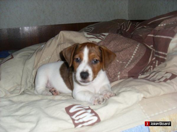 Продам щенка (недорого)