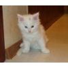 Мейн кун котик 2 мес. ,  белоснежный,  из питомника.