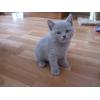 Продаются британские котята!  3000 руб